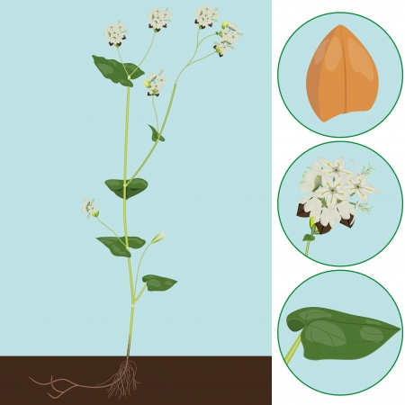 buckwheat as a plant with details of the leaf, inflorescence and seeds Ilustração
