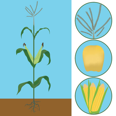 maize plant: maize as a plant with details of seeds and flowering