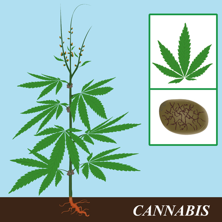 hemp hemp seed: hemp plant with the details of flowering and seed