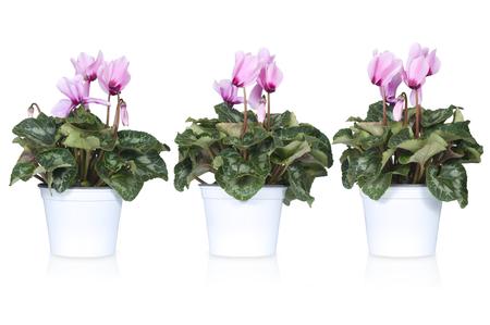 flor morada: conjunto de ciclamen o alpinas violetas aislados en blanco Foto de archivo