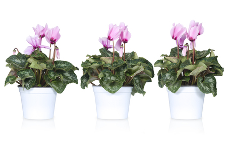 red flower: set of cyclamen or alpine violets isolated on white Stock Photo