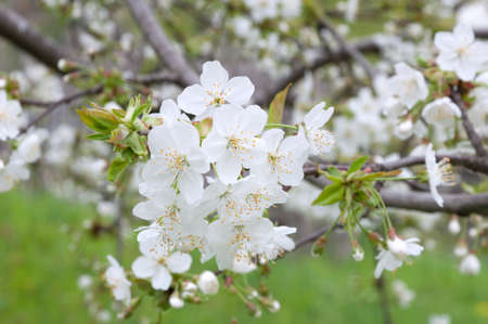 blossoming: blossoming cherry tree in the spring garden Stock Photo