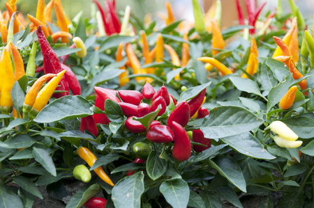 small red chili peppers in pots