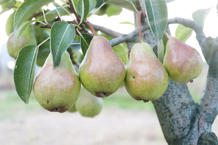 Pear fruit in the garden in summer