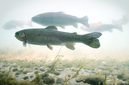flock of trout floats in a river with a rocky bottom