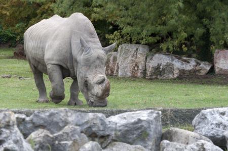 huge adult rhinoceros grazing in a meadow