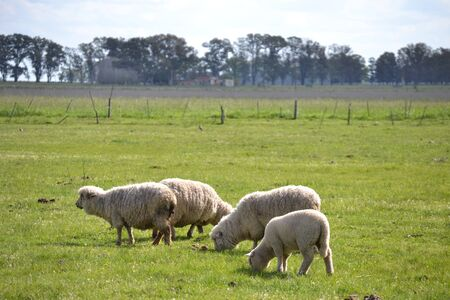sheeps: Sheeps on the field