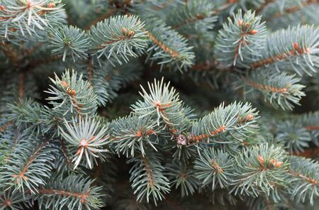 christmas tree. fir tree. Coniferous branches. Christmas background