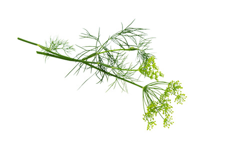 Dill bunch isolated on white background. Dill herb leaves. Flowering plant dill.