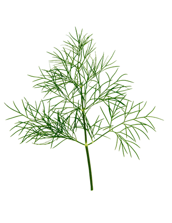 Branch of fresh green dill herb leaves isolated on white background. Stock Photo