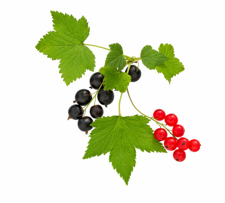 Currant. Black and red currant with leaf. Heap of fresh black, red currant fruit. Textured background.