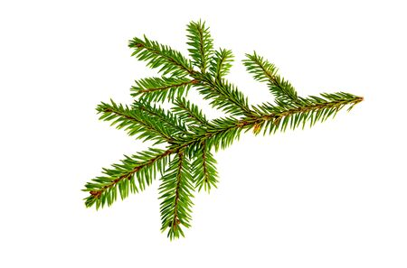 Fir tree branch isolated on white background. Pine branch.