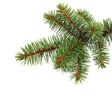 Fir tree branch isolated on white background. Pine branch. Christmas decoration. Imagens