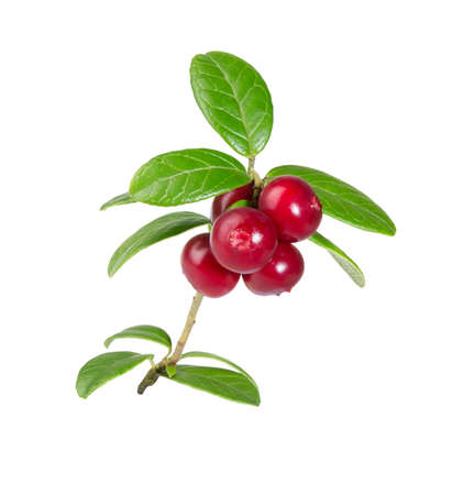 Cranberries with leaves. Lingonberries. Branches forest cowberries isolated on white. Wild berry cowberry. Imagens