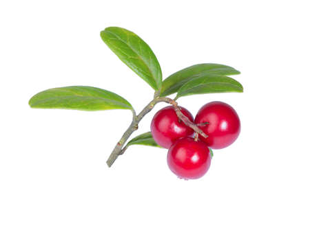 Cranberries with leaves. Lingonberries. Branches forest cowberries isolated on white. Wild berry cowberry.