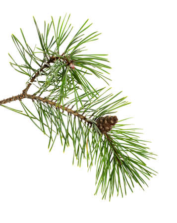 Pine tree branch with cones isolated on white background. Christmas ornament. Fir branch.