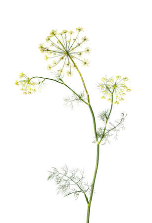 Branch of fresh green dill herb leaves isolated on white background. Flowering plant dill. Stok Fotoğraf