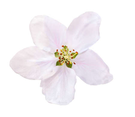 Flower apple blossoms bloomed isolated on white. Close up of Apple blossoms.