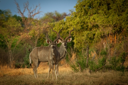 Kudu antelopes photo