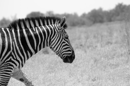 Portrait of Burchell s Zebra in savanna of Botswanna photo