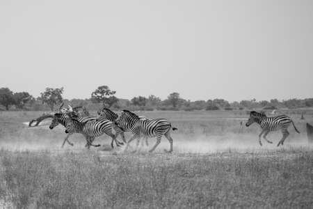 Herd of zebras is running in savanna Stock Photo - 22675724