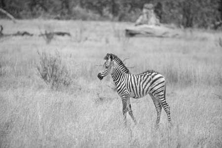 Burchell s zebra in savanna of Botswana photo