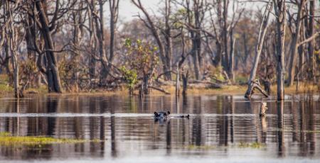 antagonistic: Hippopotamus in water, Botswana, South Africa Stock Photo
