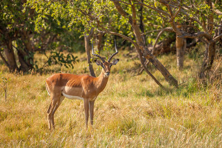 Impala male in reserve of Botswana, South Africa photo