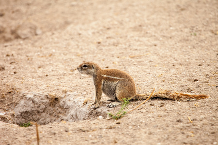 xerus inauris: African ground squirrel at her burrow in Kalahari desert of Botswana. Stock Photo