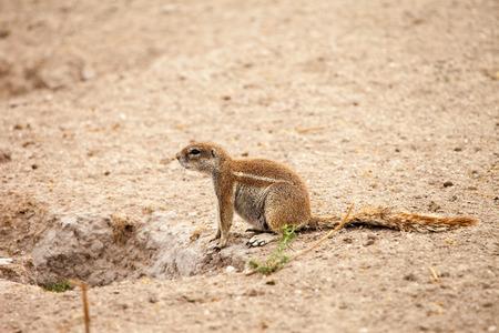 burrow: African ground squirrel at her burrow in Kalahari desert of Botswana. Stock Photo