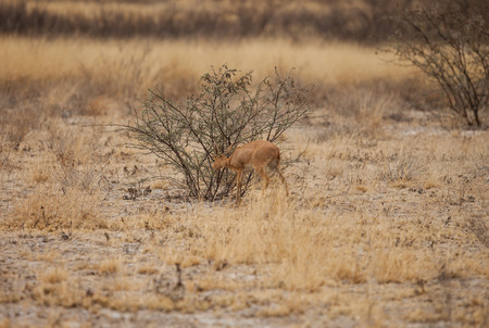 mother and baby deer: Impala baby looking for food in Kalahari desert of Botswana.