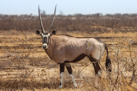 kalahari: Gemsbok, Oryx gazelle in Kalahari desert of Botswana. Stock Photo