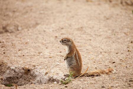 African ground squirrel pregnant female at her burrow in Kalahari desert of Botswana. photo