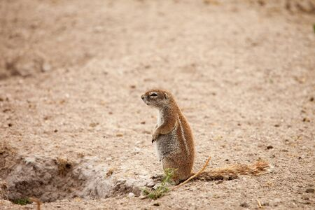 xerus inauris: African ground squirrel pregnant female at her burrow in Kalahari desert of Botswana. Stock Photo