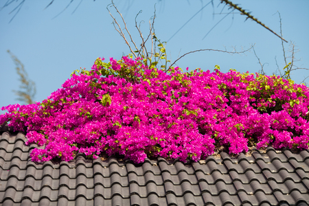 Vietnam, flowers in bright pink color growing on the roof as decoration at resort. Stock fotó