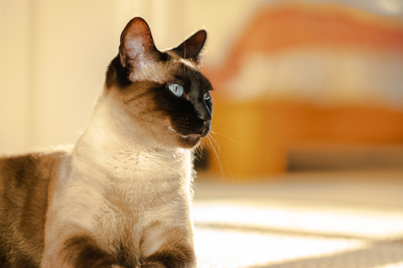 Portrait of Siamese cat laying in sunlight on the carpet in the bedroom.