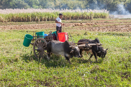 Inle Lake. Myanmar-December 21, 2015. Young Burmese farmer riding a cart with bulls on the land part of Mine Thauk village on December 21, 2015 at Inle Lake in Myanmar.