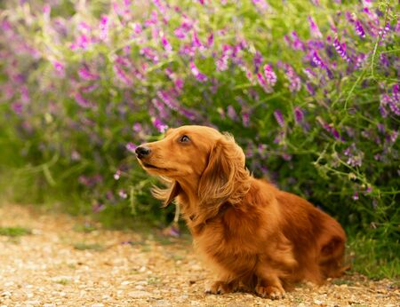 Dachshund-Miniature Long Haired male dog is sitting on the path and looks curious at the flower background in the country park.