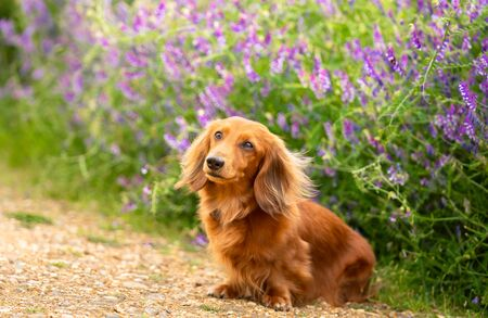 Portrait of Dachshund, Miniature Long Haired male dog  sitting on the path at the flower background in the country park. 写真素材