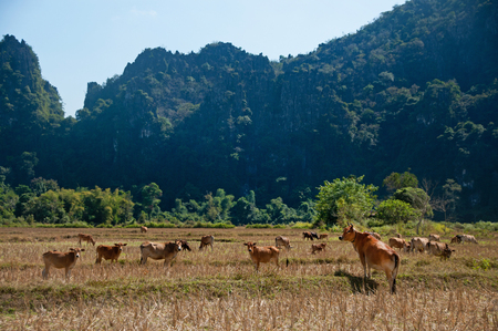 Rice fields and mountains at Vang Vieng, Laos.