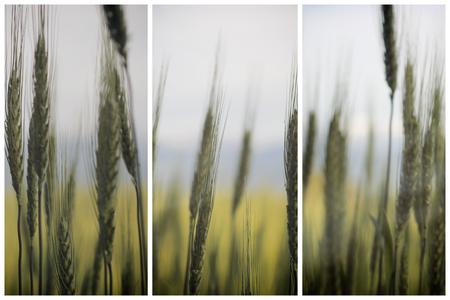 Green wheat ears background triptich concept design Reklamní fotografie