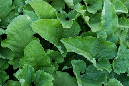 Green big burdok bush leaves texture. Decorative plant image. Summer garden detail. Standard-Bild - 122826268