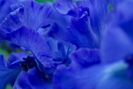 Bright blue irises flower petals in outdoor garden macro close up view