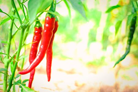 Red chili peppers growing on a branch in garden. Bell peppers growing in the garden in vivo