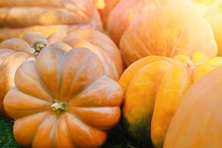 Pile of pumpkins background. Autumn harvest concept