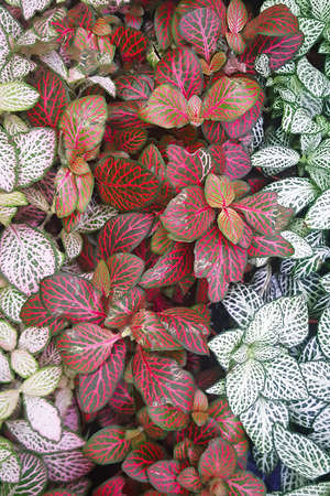 Close-up white, green and red leaves. Leaf texture for background. Fittonia verschaffeltii or Fittonia albivenis plant. Top view