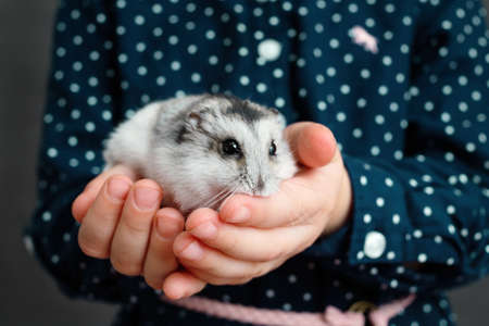 Phodopus sungorus a gray hamster in the hands of a child.
