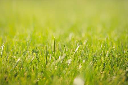 Close-up of fresh sunny green lawns background texture. Selective soft focus, copy space. Standard-Bild
