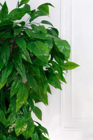 Close-up of green leaves house plants against white wall background, vertical. Standard-Bild