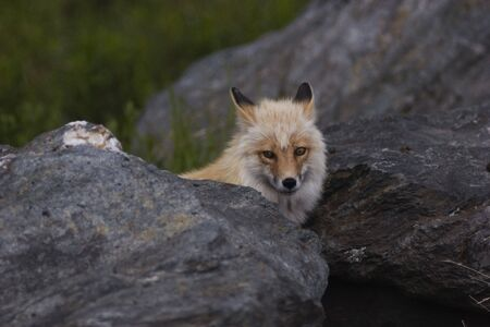 Wild fox looking from behind the rock